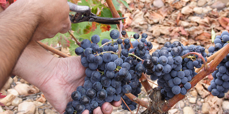 Small and aerated grapes