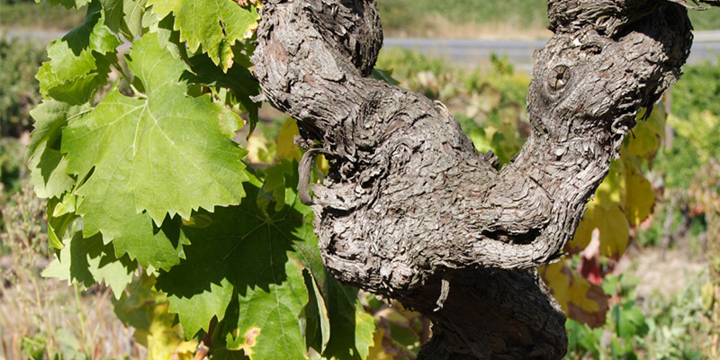 The vine is the origin of our wines
